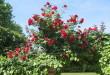 rose-rosse