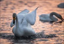 inside one swan raising wings