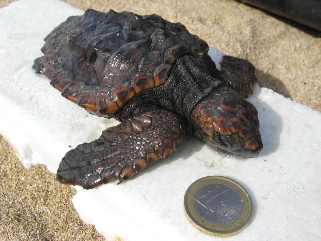 Tartaruga ritrovata a Campomarino di Maruggio