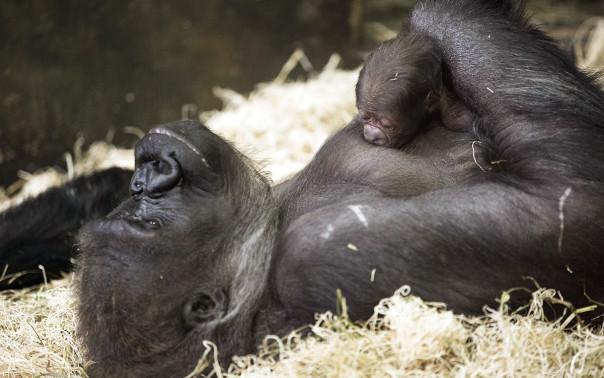 Nato 24 febbraio il piccolo gorilla è il 52 ° della sua specie nati a Lincoln Park Zoo.  © Todd Rosenberg Photography 2015