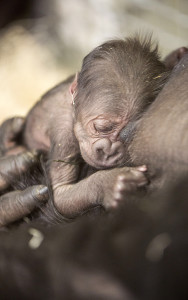2/25/15 10:27:27 AM -- Chicago, IL, USA  New Gorilla Baby born to Bahati and Kwan at the Lincoln Park Zoo Regenstein Center for African Apes.  . © Todd Rosenberg Photography 2015