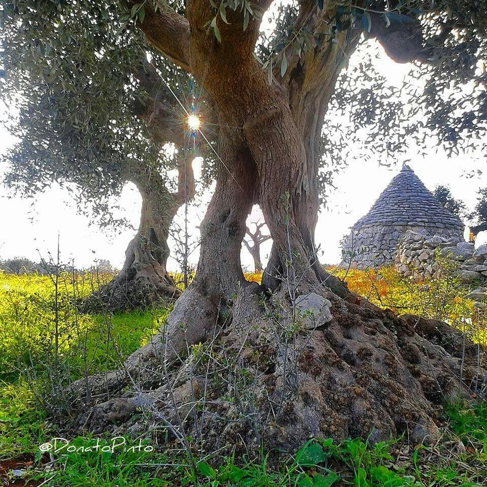 Trulli e Ulivi connubio di Puglia. CARPE DIEM! Scatto rubato a Donato Pinto