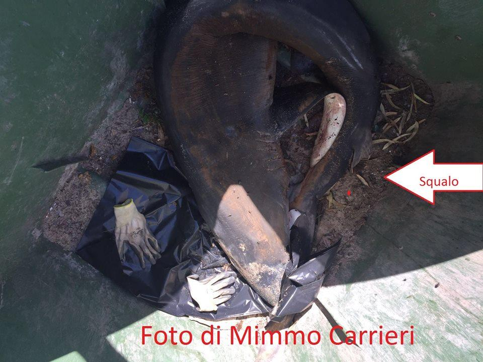 squalo-nella-spazzatura-di-torricella