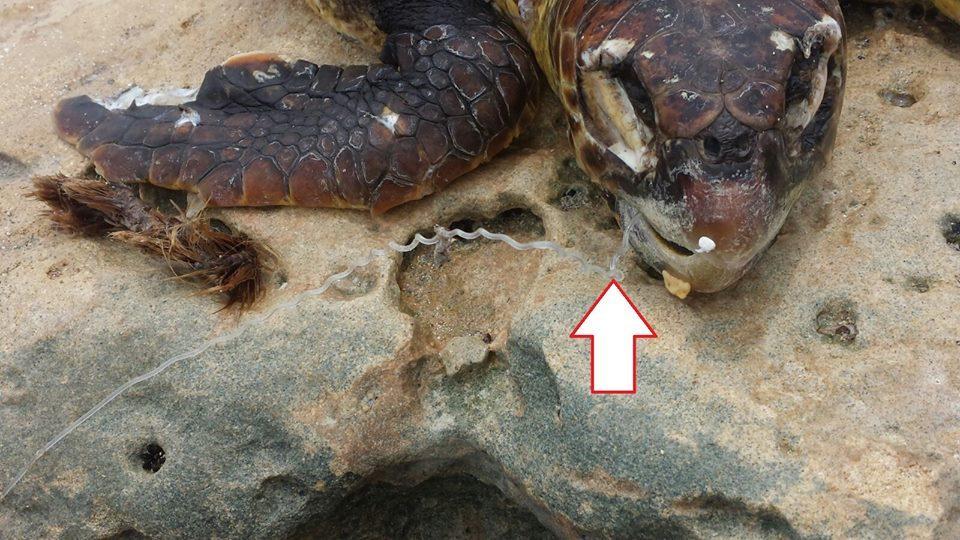 tartaruga caretta caretta maruggio