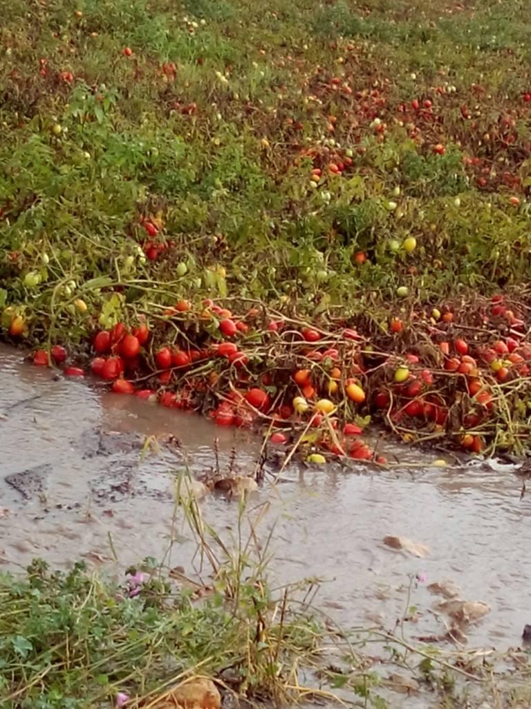 campi-di-pomodoro-allagati-nel-foggiano