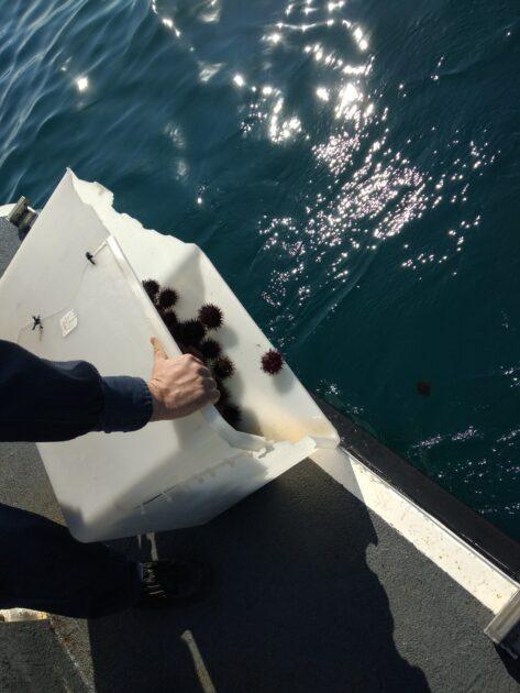 Guardia Costiera di Taranto sequestro ricci di mare